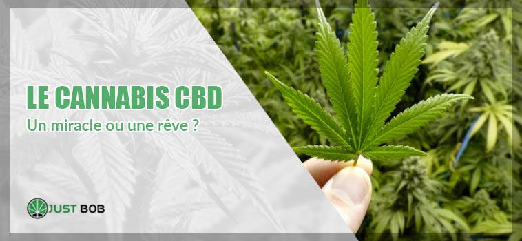 Le cannabis CBD: un miracle ou une rêve ?