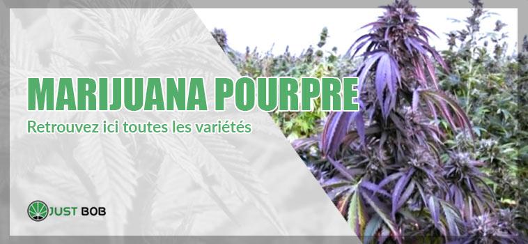 marijuana pourpre / violette : retrouvez ici toutes les variétés
