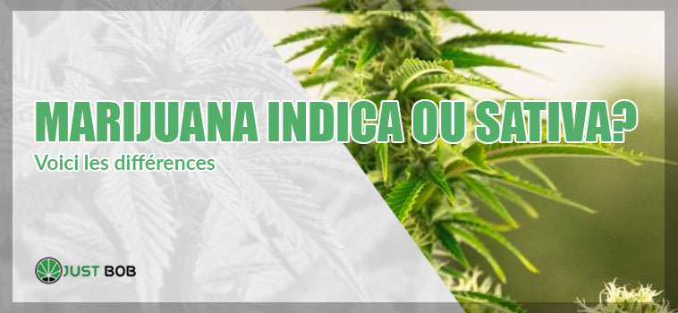 Marijuana Indica ou Sativa: voici les différences