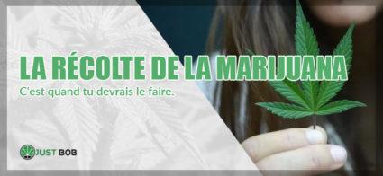 RÉCOLTE DE LA MARIJUANA