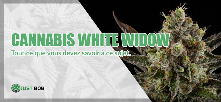 cannabis white widow en france