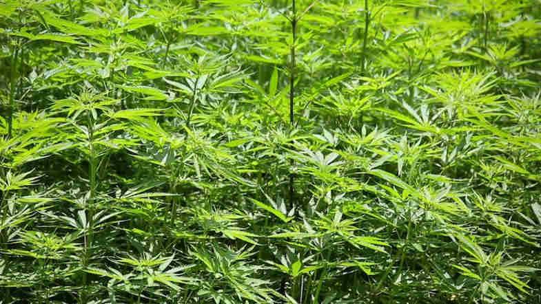 Marijuana Indica ou Sativa: voici les différences Informations sur la marijuana et la sativa