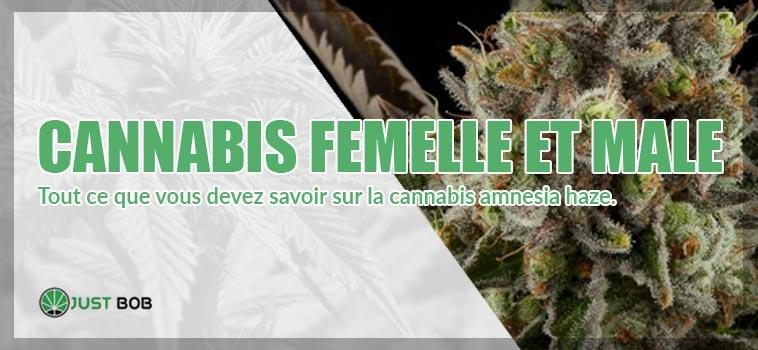 Cannabis femelle et male