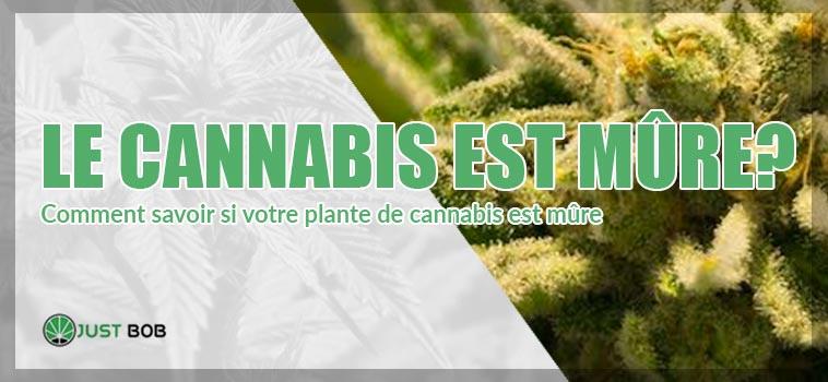 le cannabis est mure