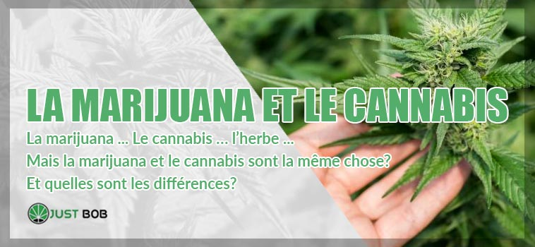 la marijuana et le canabis