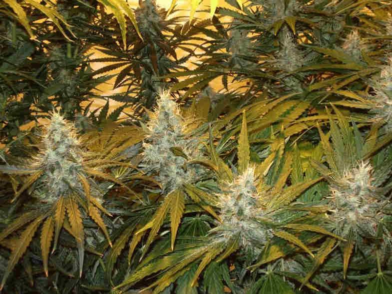 Northern Lights cbd cannabis en france