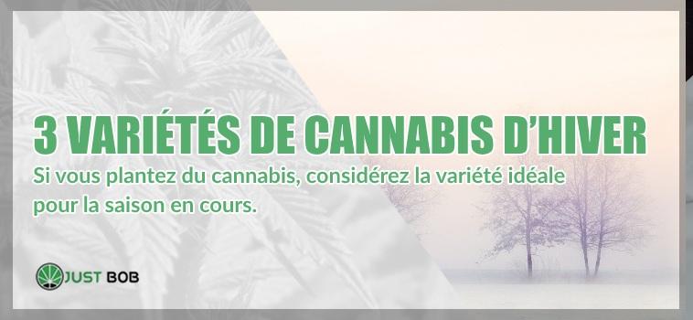 variétés de cannabis d'hiver
