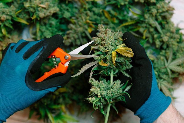 Cannabis Sweet Berry3