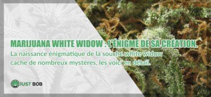 Marijuana White Widow énigme de sa création