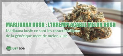 Marijuana melon kush caractéristiques