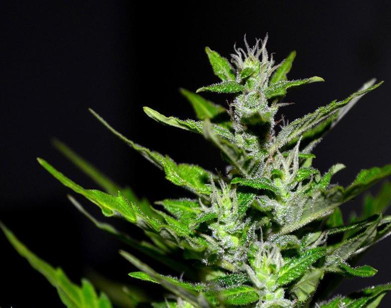 compétitions cannabis master kush CBD légal