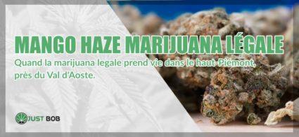 mango haze marijuana légale