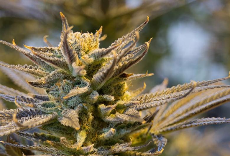 marijuana d'hiver