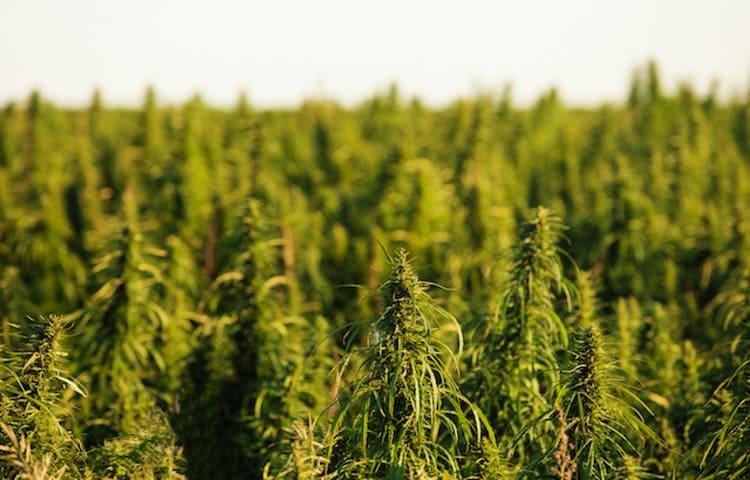 Culture du cannabis légal Melon Kush