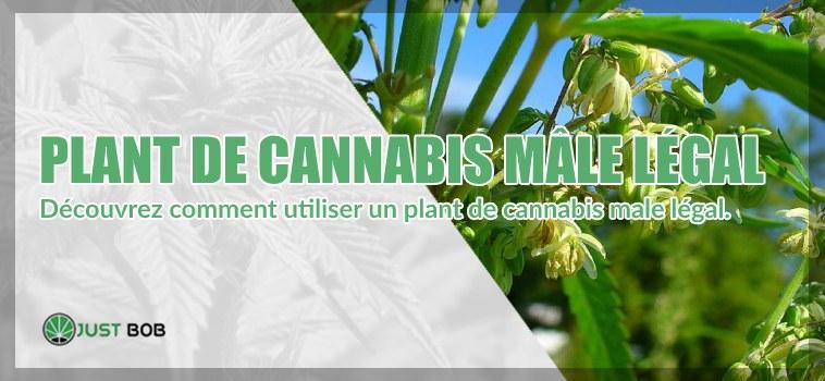Découvrez comment utiliser un plant de cannabis CBD male légal