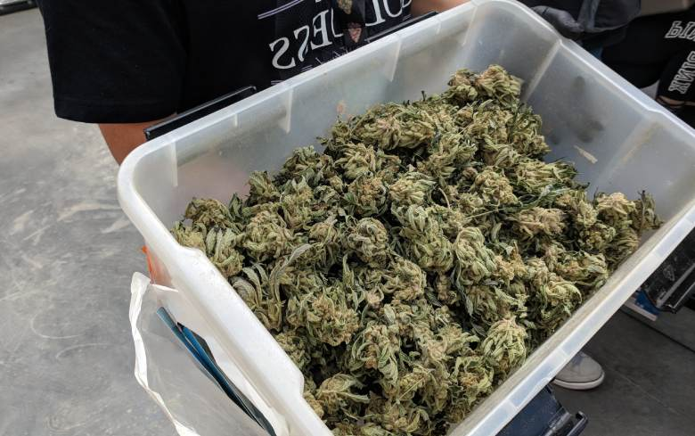 cannabis mâle légal
