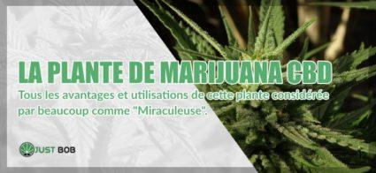 plante de marijuana CBD
