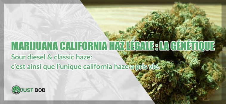California Haze légale la génétique