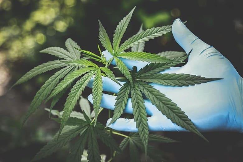 culture de marijuana légale Mango Haze
