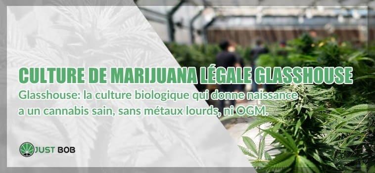 Culture de marijuana légale et sous serre glasshouse