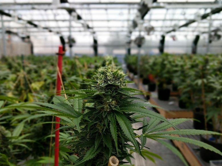 la culture de cannabis GlassHouse