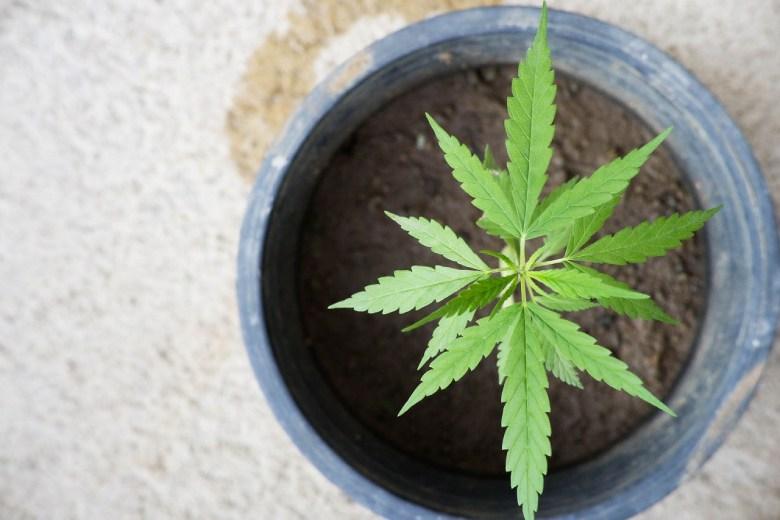 cbd cannabis à la maison
