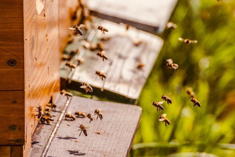chanvre légal et abeilles