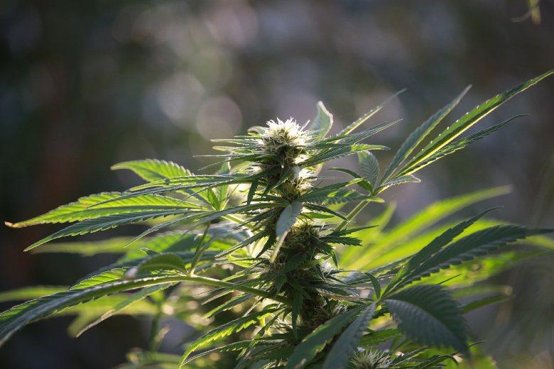 marijuana cbd flower et abeilles