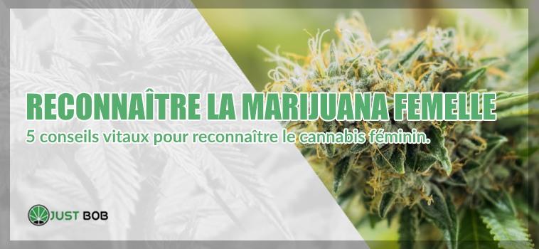 reconnaître la marijuana cbd femelle