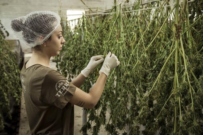impact économique du cannabis cbd