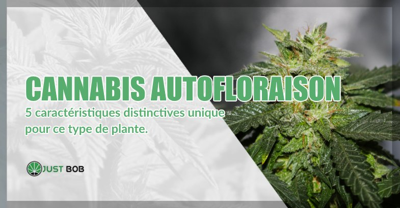 Cannabis cbd autofloraison