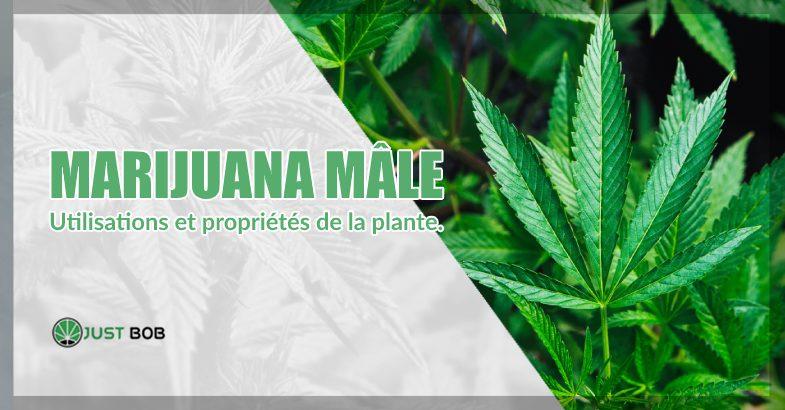 cannabis cbd mâle