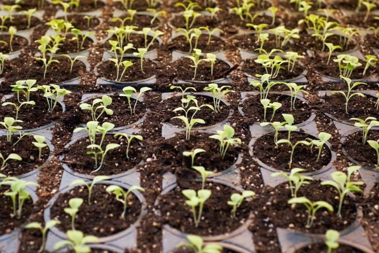 plante de cannabis cbd mâle ou femelle