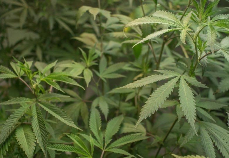 cannabis sans THC et l'histoire du chanvre sativa