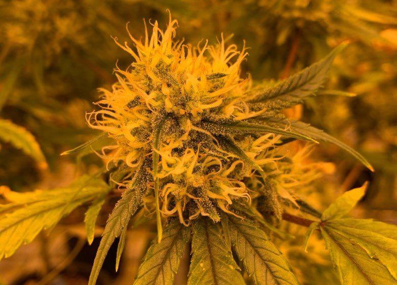 cultiver de la marijuana à Amsterdam ou acheter cannabis sans THC