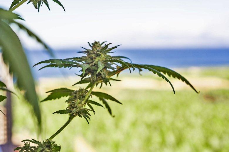 fleur de cannabis sans THC