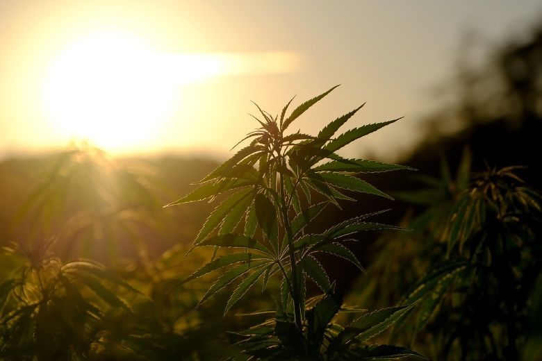 risques liés à la plantation de cannabis et pourquoi acheter CBD