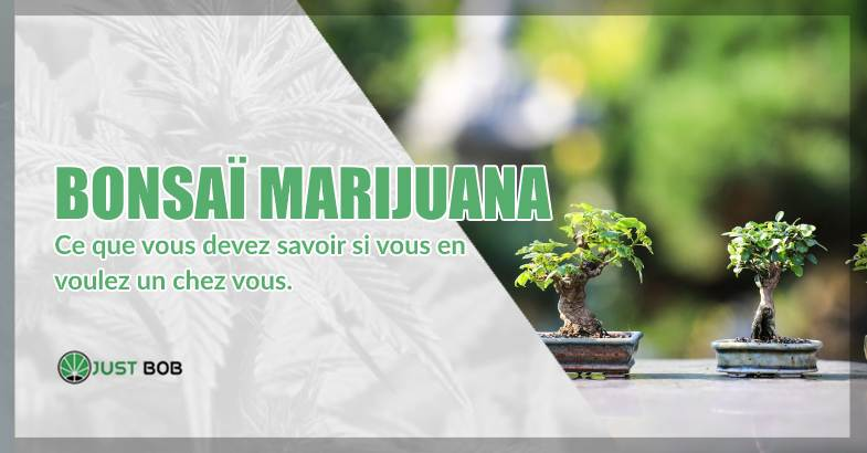 Bonsaï marijuana ou cannabis CBD Bonsaï
