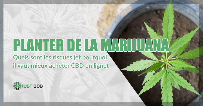 Planter de la marijuana risques