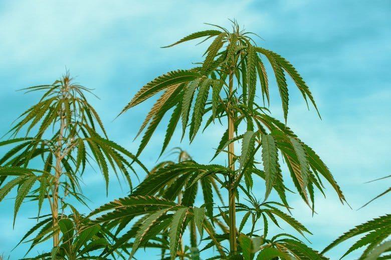 carences nutritionnelles du canabis légal