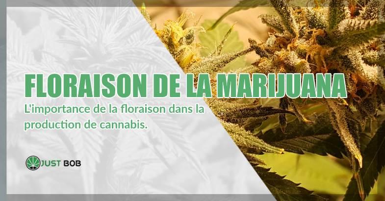 l'importance de la floraison de la marijuana CBD