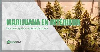 La marijuana en intérieur caractéristiques