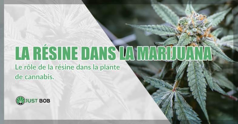 La résine dans la marijuana classique et CBD