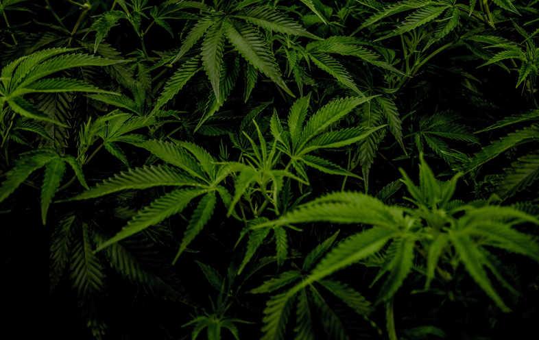 Cannabis CBD