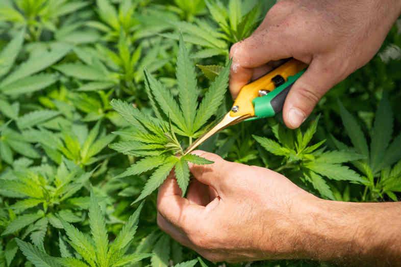 feuilles de cannabis CBD