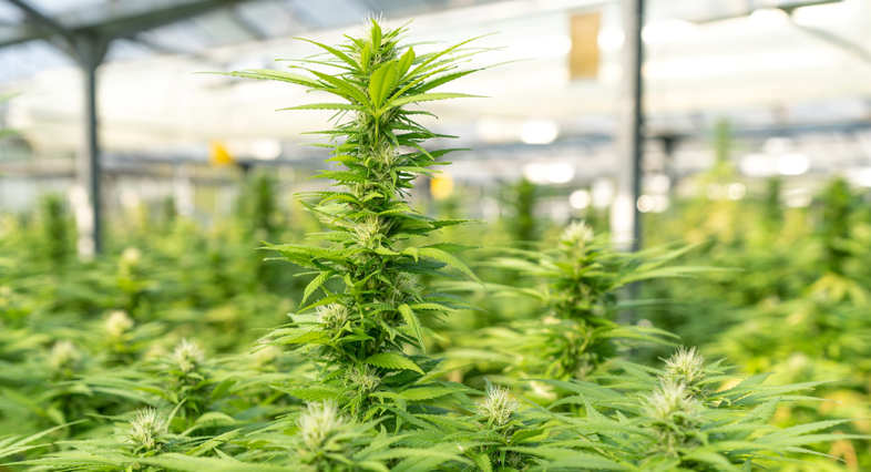 plant de cannabis CBD