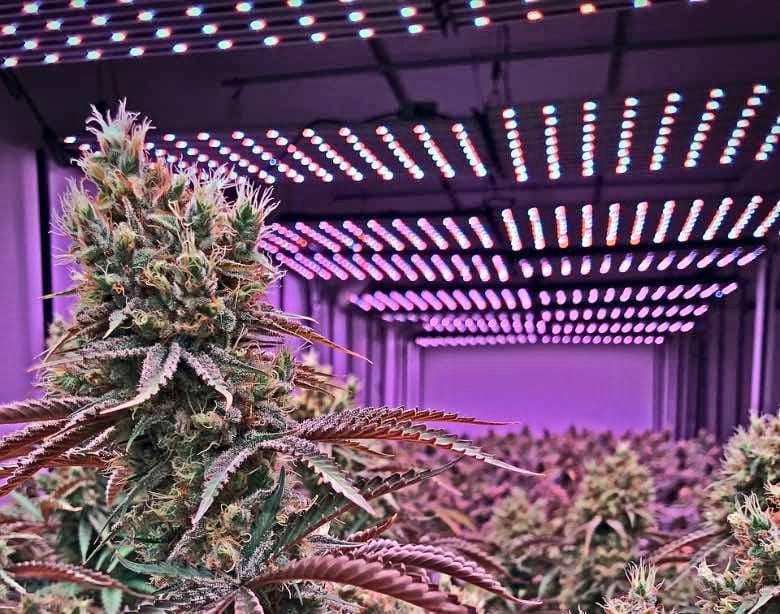 couleurs de la cannabis sans THC d'intérieur
