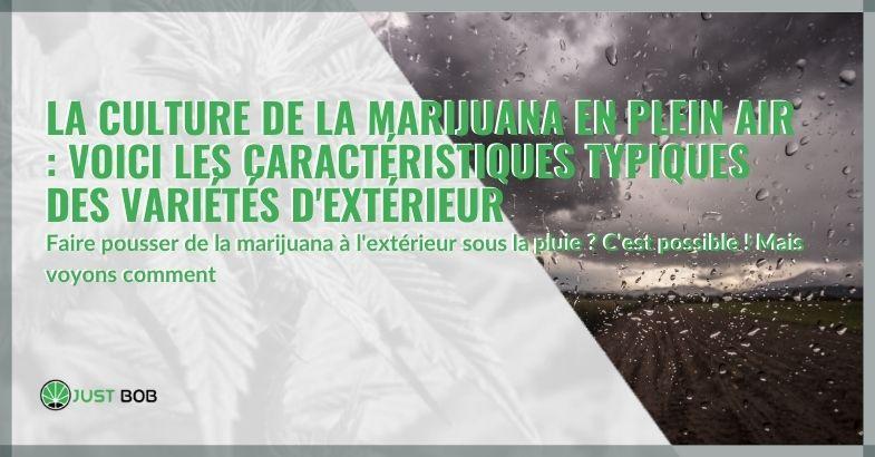 La culture de la marijuana en plein air