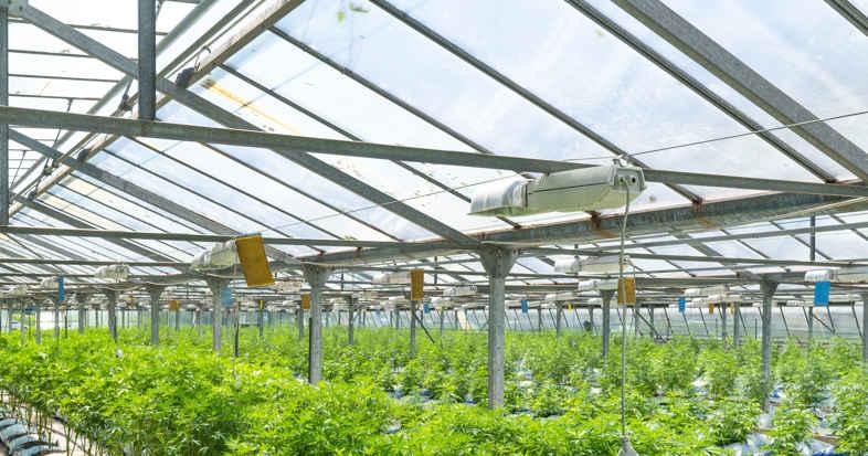Serre avec LED pour la culture du cannabis CBD