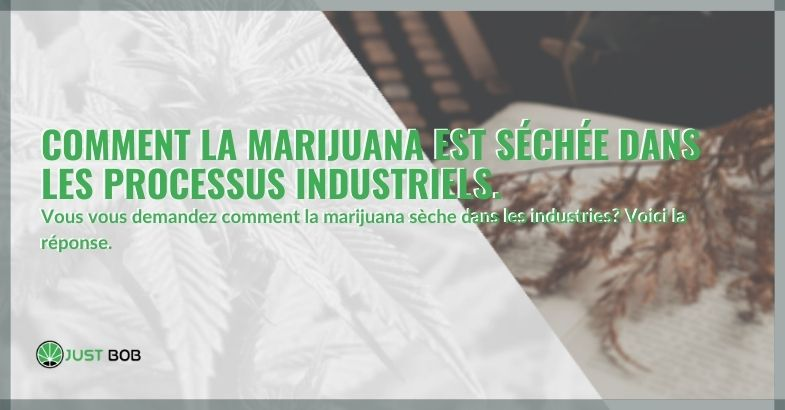 Comment la marijuana est séchée dans les processus industriels.